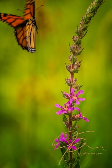 In a blur of black trimmed orange wings, the monarch butterfly gently flutters away