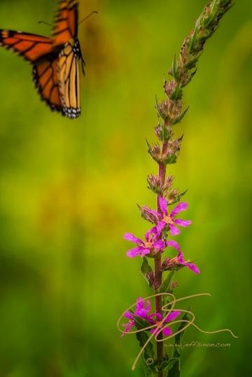 Monarch butterflies flying away - photo#23
