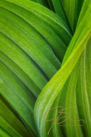 Close-up of the deep curves and waves of the false hellebore plant.