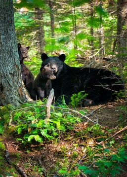 Black bear sow with two cubs in the forest. The mother stares intently out at the viewer.
