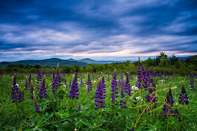 A larger field of purple lupine under a stormy sky at sunrise.