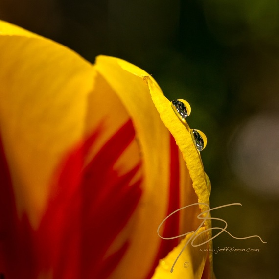 Two raindrops glistening on the petals of a yellow and red tulip