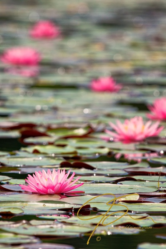 Pink Water Lilies. Bellamy Reservoir.