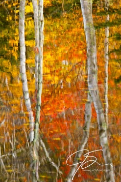 Abstract image of white birch trees surrounded by the fiery reds and oranges of autumn.