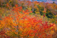 Maple Tree In Red. Bear Notch, NH