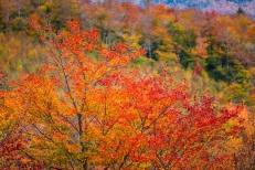 Maple Tree In Red. Bear Notch, NH