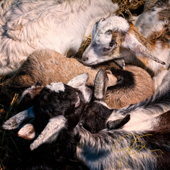 A cuddly group of kid goats, sleeping one atop the other