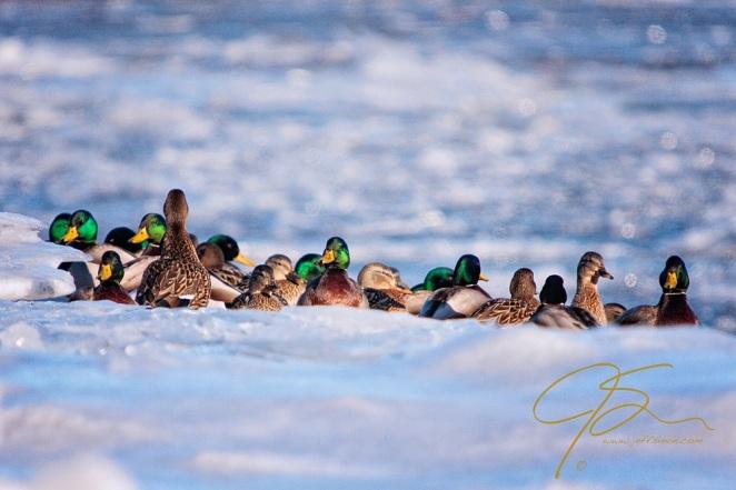 Mallards On The Ice