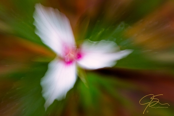 painted_trillium_zoom_6958-Edit