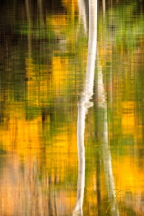 Birch Reflections