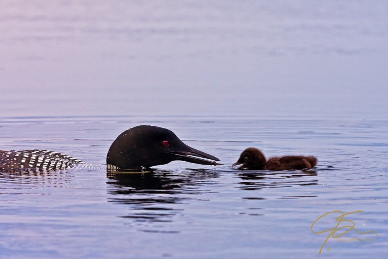Common loon feeding its young