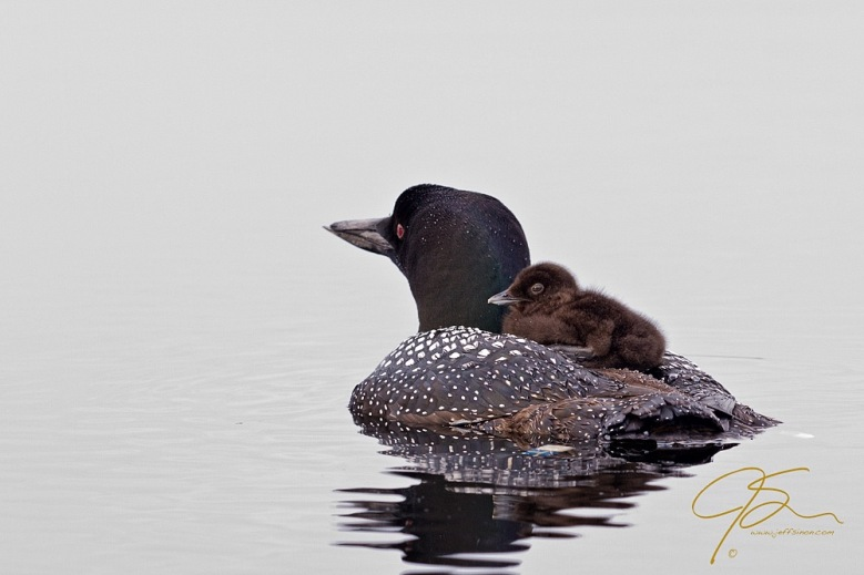 Common loon adult with young chick on its back.