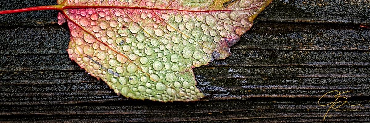maple_leaf_on_wet_wood_8034-Edit-2