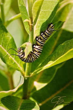 Monarch Caterpillar On Milkweed.