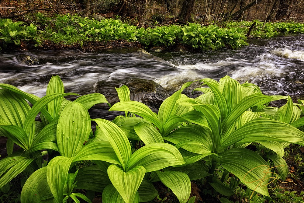 The early green of the falls hellebore plant line the banks of a stream. The water rushing between the banks.