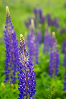 lady_bug_on_purple_lupine_0026-Edit