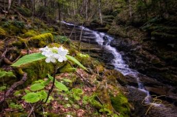 Hobblebush Flower