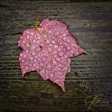 red_maple_leaf_in_rain_8031-Edit-2