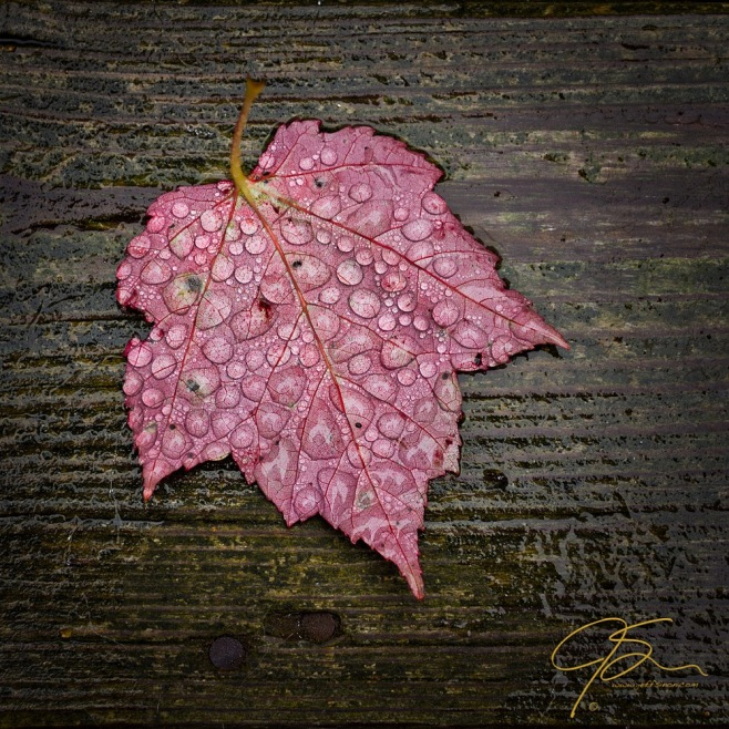 red_maple_leaf_in_rain_8031-Edit-2