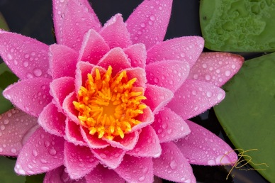 pink_water_lily_close_up_5948