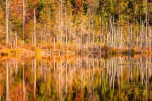 Bright yellow, gold and red autumn foliage reflects on the surface of a remote mountain pond. The stark grey skeletons of dead everygreen trees line the far shore and contrast with the warm colors.