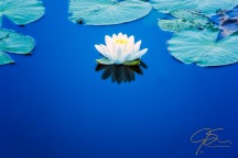 white_water_lily_on_blue_5864