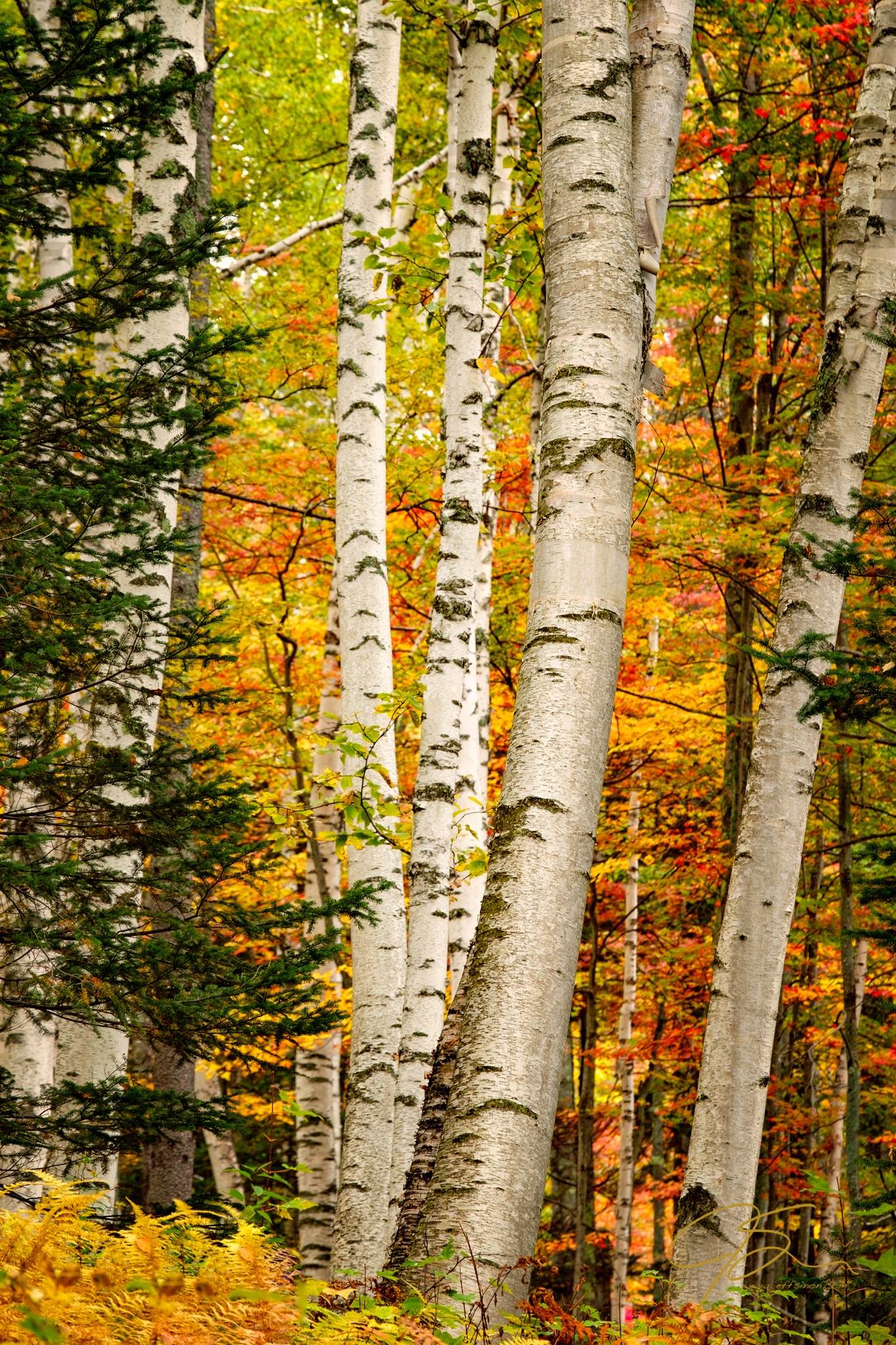 white birches in autumn 8335-Edit