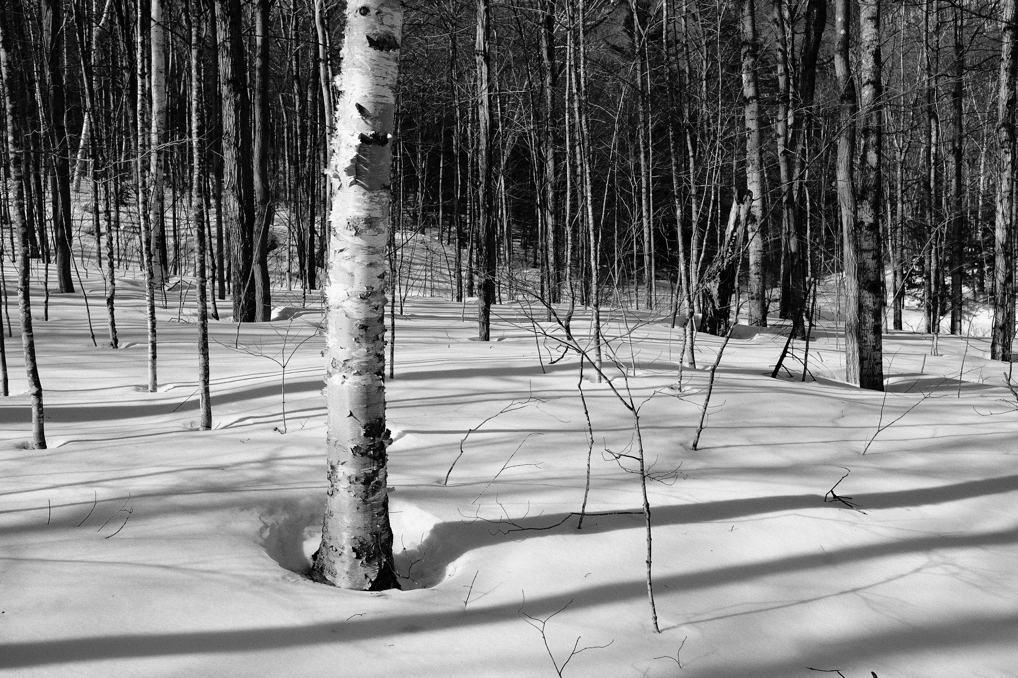 Black and white image of a birch tree in the forest. Long shadows falling across the snow covered ground.