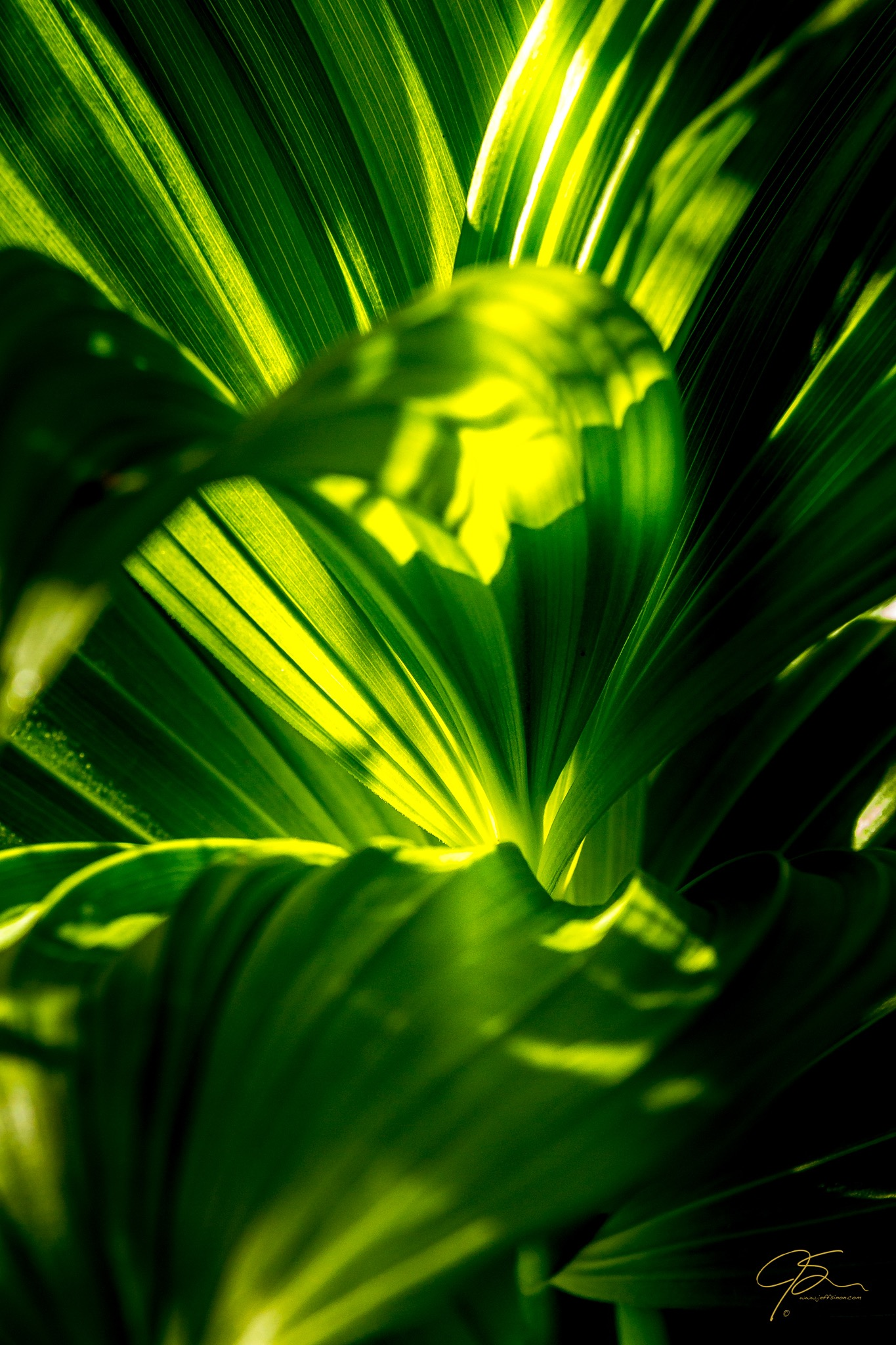 vibrant green and wonderfully textured leaves of the false hellebore plant, backlit by the early morning sunlight.