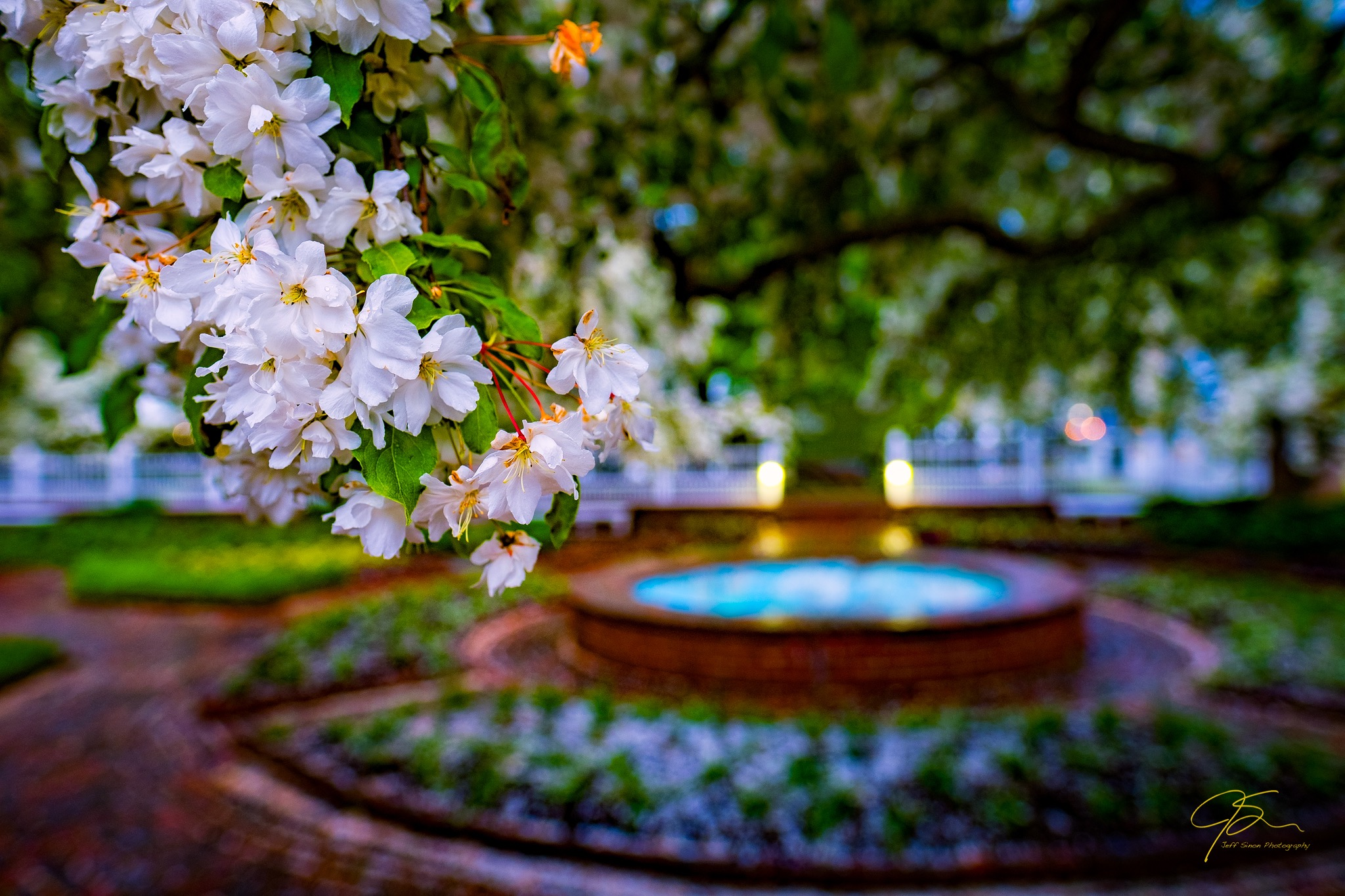 closeup of cherry blossoms with brick paths and water fountain in the background