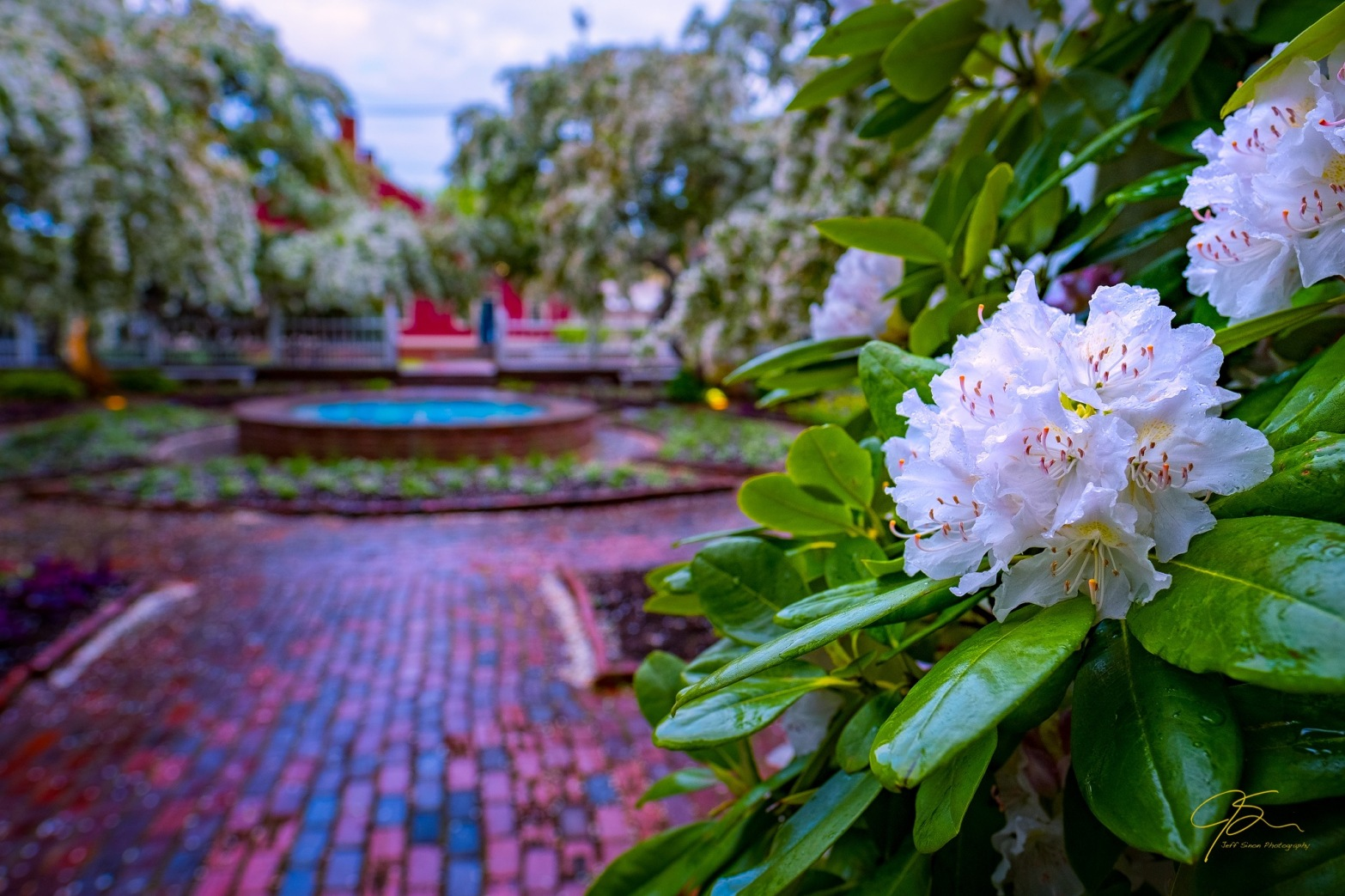 white rhododendron flower and cherry blossoms, prescott park gardens