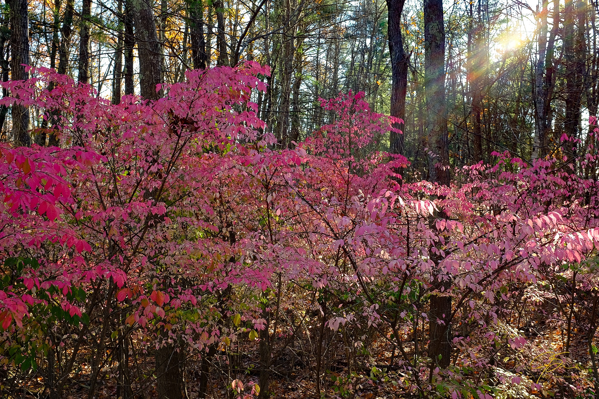 burning bush in the sunlight