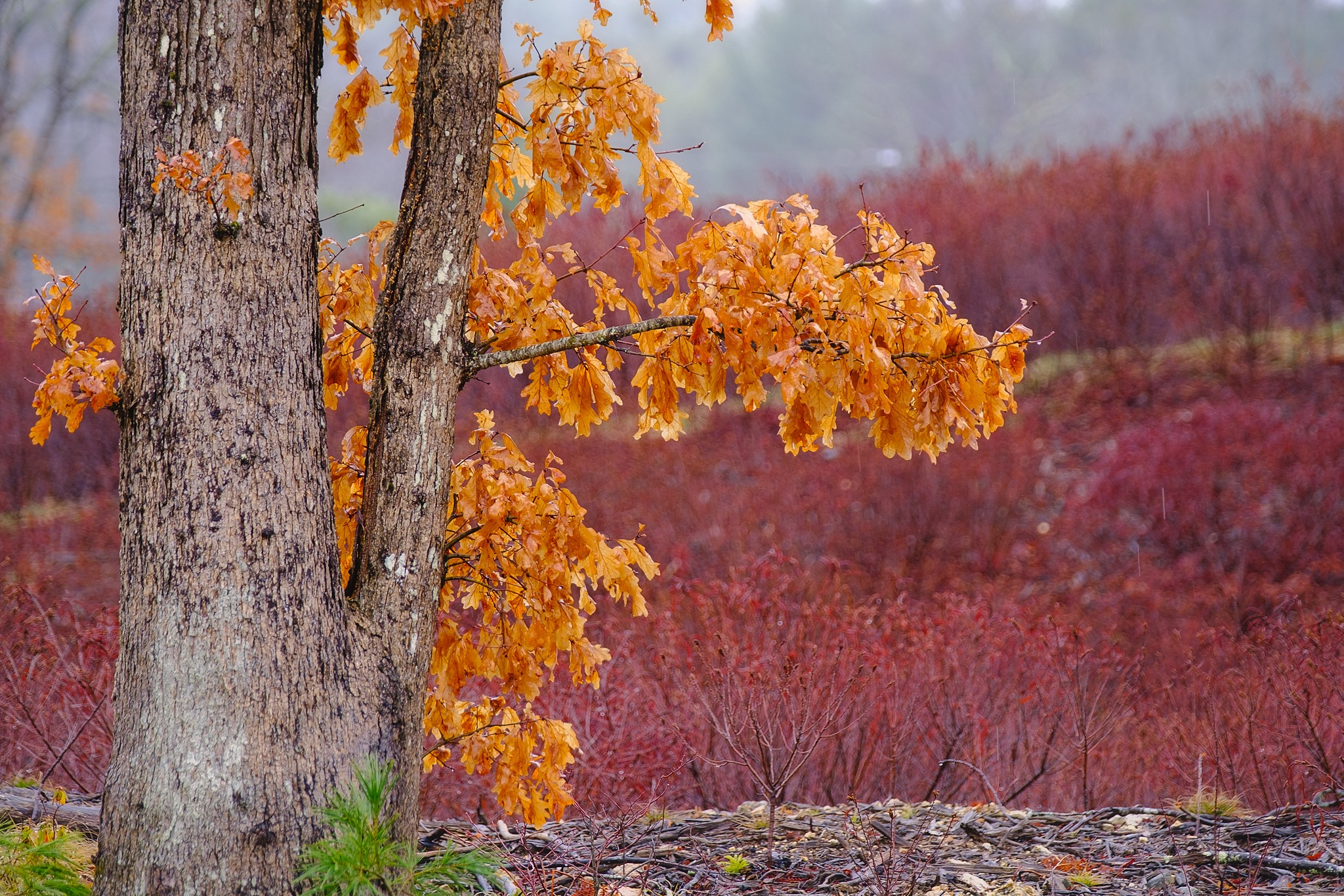 The base of an oak tree with a few small branches full of golden leaves on a rainy day. Reddish brush fills the background.