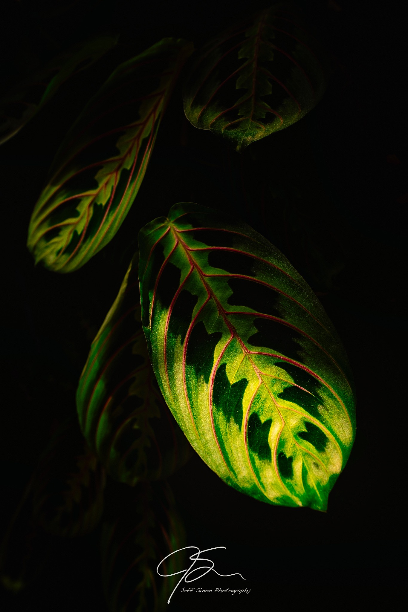 Prayer plant in the window light with dark shadows.