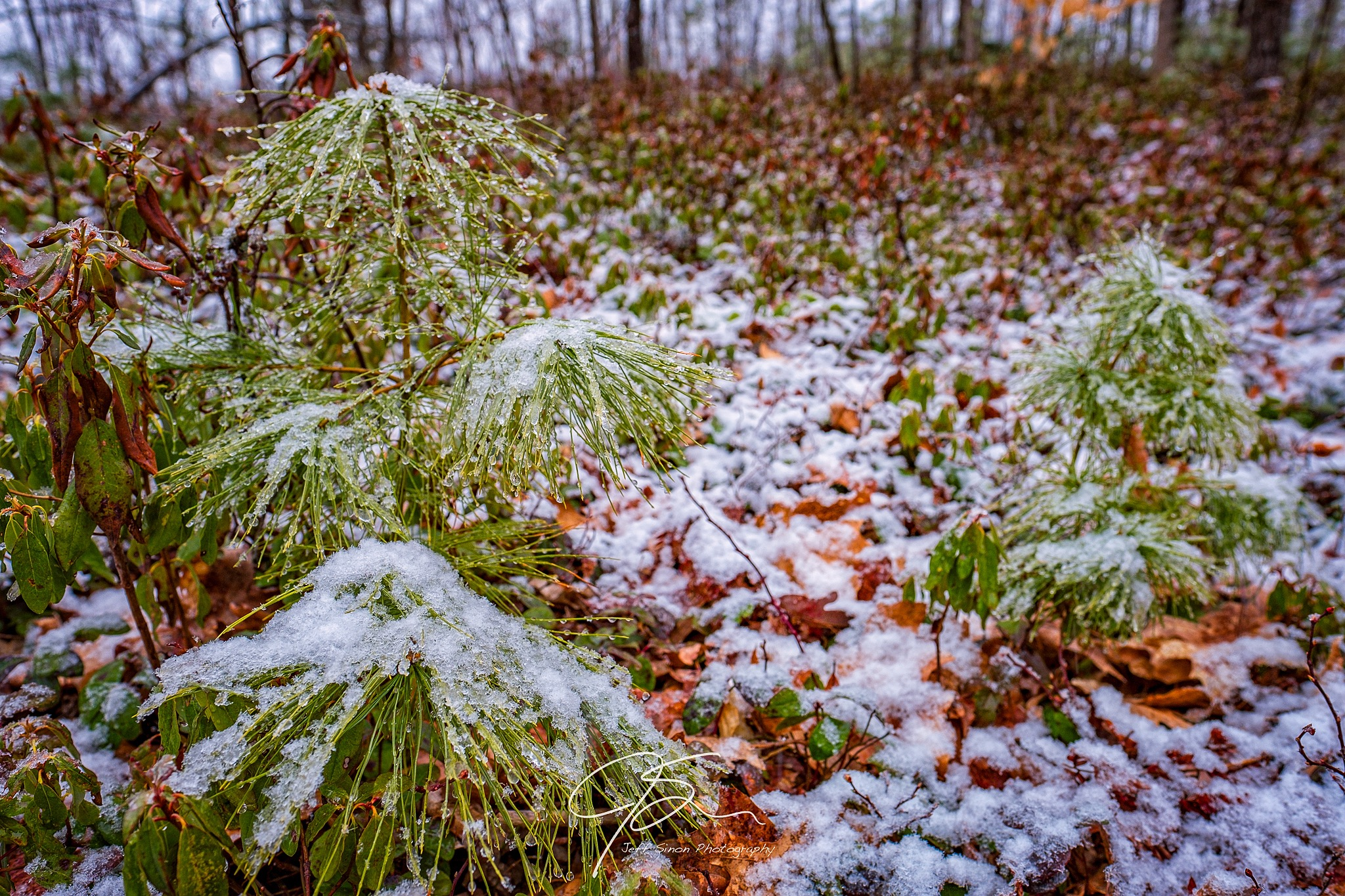 new wet spring snow on the forest floor with small pine trees.