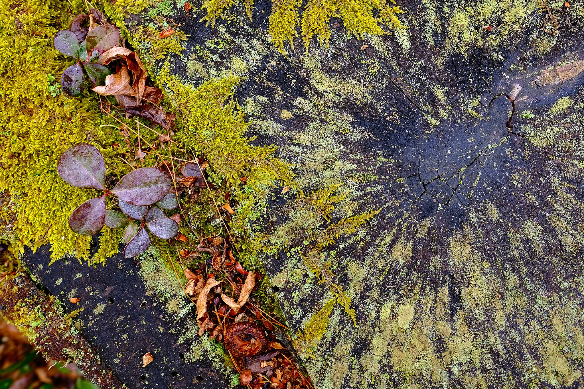 Looking straight down on a wet oak stump with green moss and lichen on its cut weathered surface.