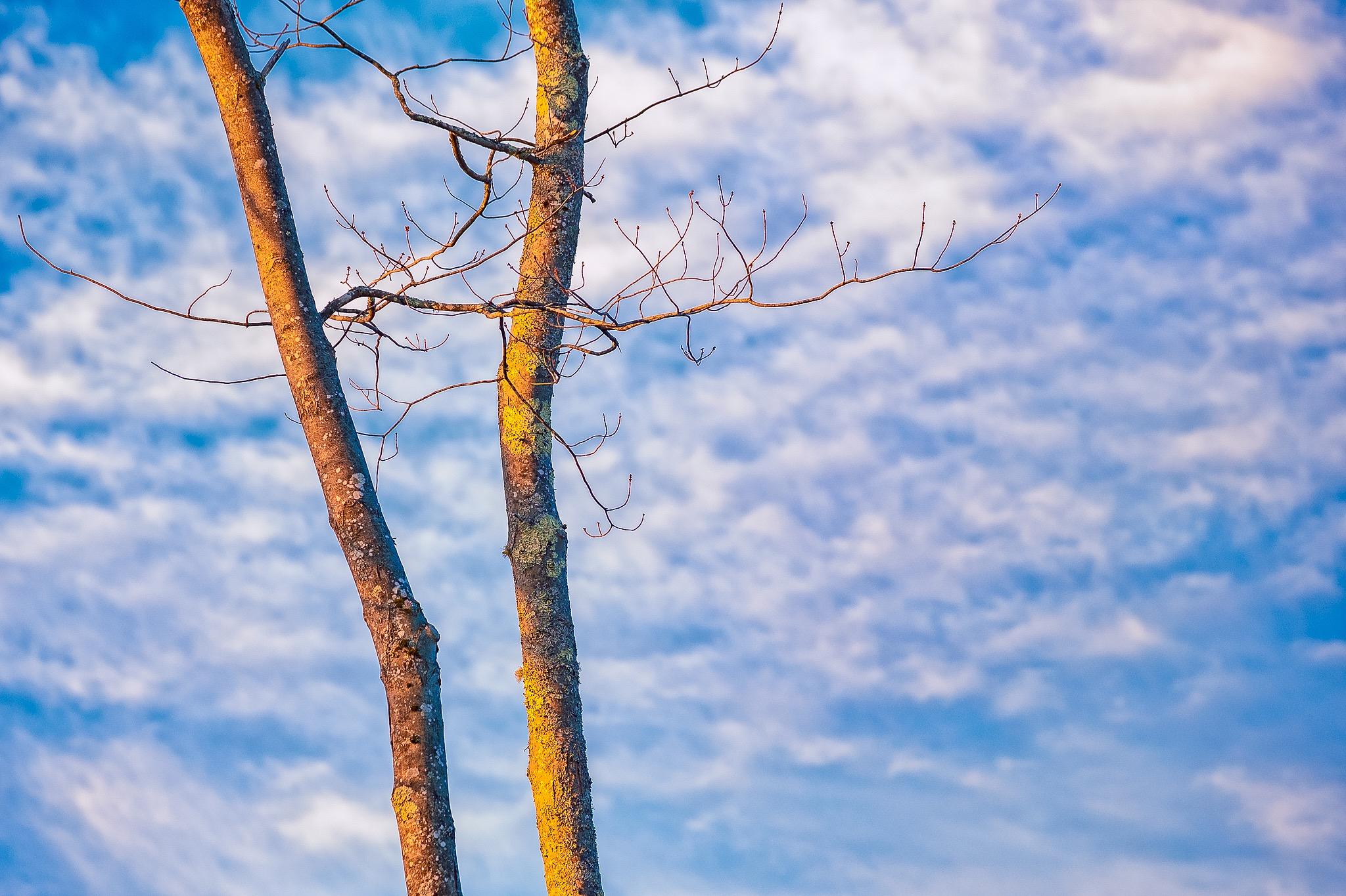 bare oak trees against the morning sky