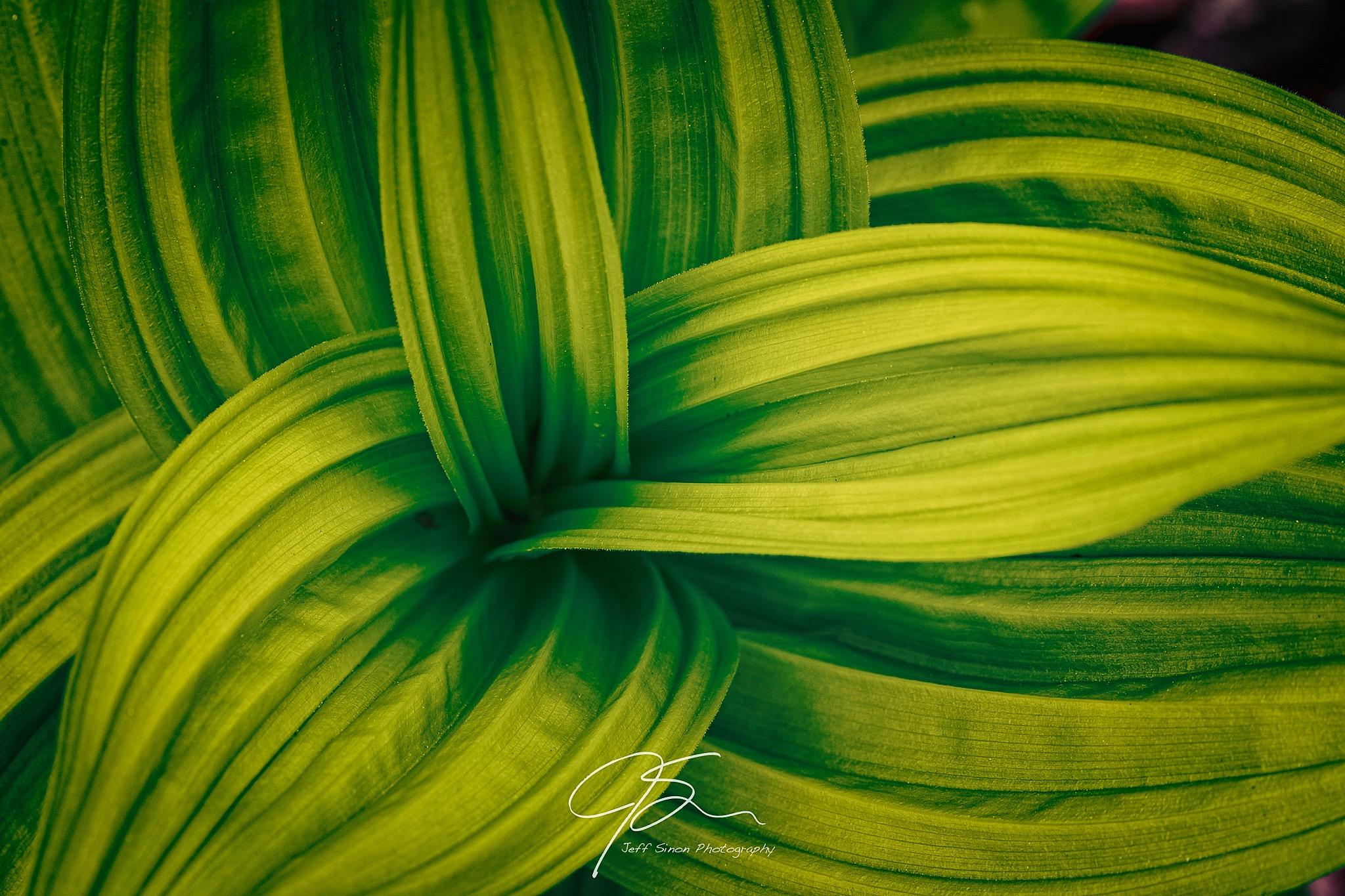 wavy green leaves of false hellebore.