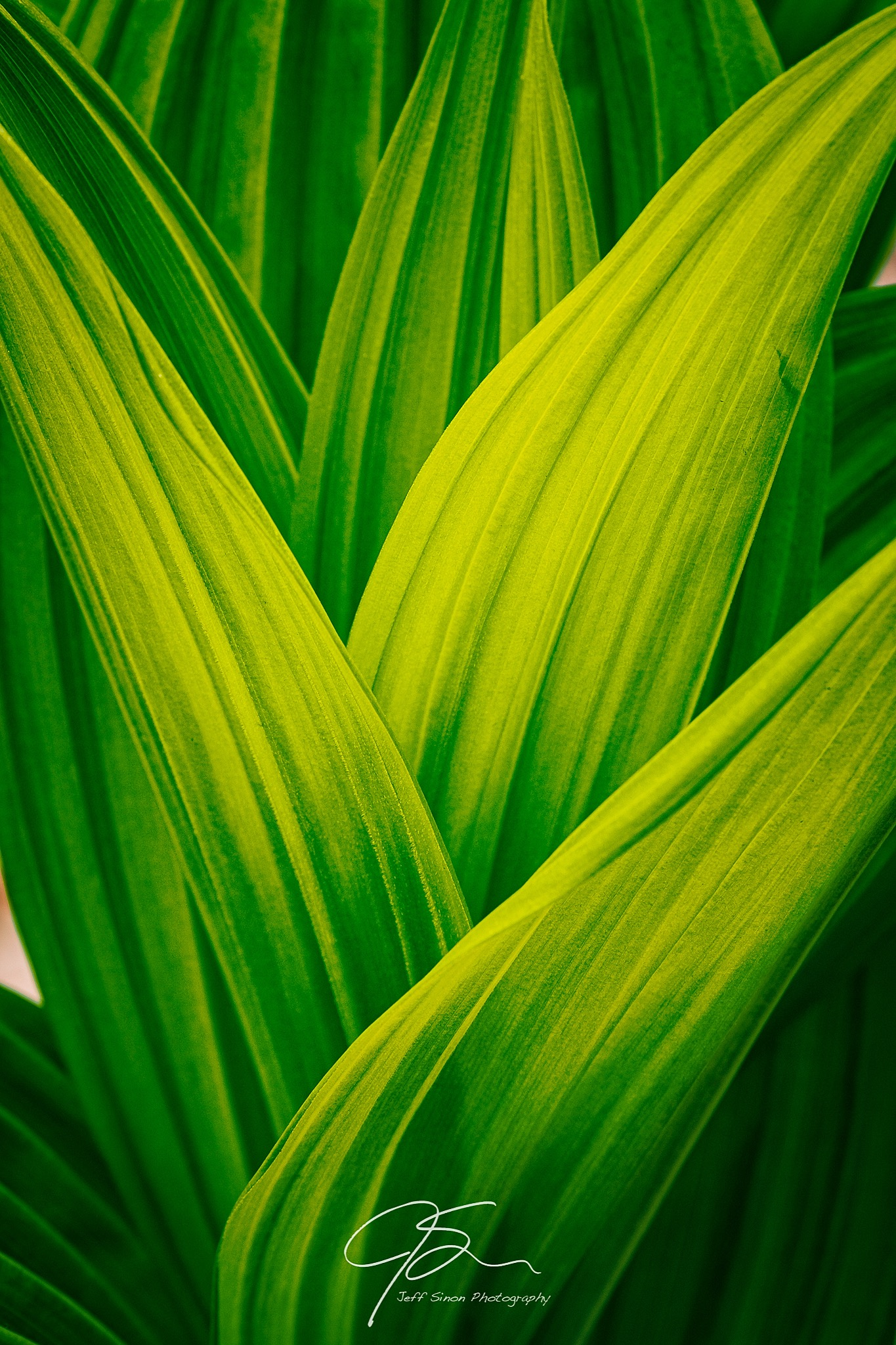 Close up of the wavy green leaves of false hellebore.